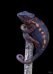 Panther chameleon (Christian Sanchez Photography) Tags: chameleon naturephotographer reptile nationalgepgraphic reptiles macro macrofrog macrophotography mammal madagascar madagascarwild africa animal madagscarfrog macaw nikond4s