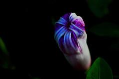 Baby fist (Debmalya Mukherjee) Tags: bud flower flora debmalyamukherjee canon550d 50mm extensiontube