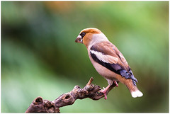 Hawfinch (male) - Appelvink (man) Coccothraustes coccothraustes ... (Martha de Jong-Lantink) Tags: 2018 appelvinkman coccothraustescoccothraustes hawfinchmale nederland