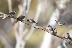 376A9271 (bon97900) Tags: 2018 brownheadedhoneyeater yellowplumedhoneyeater birds gluepot2526thaug2018 gluepotreserve rivermurray riverland southaustralia
