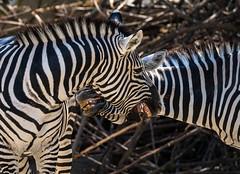 Zähne zeigen (KaAuenwasser83) Tags: zebra zähne