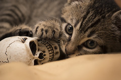 Lord of the beyond (Carlos Carazo Photography) Tags: cat animal animales gato gatos gotico gothic gaia eyes skull death dark eye macro macrophotography catlover cats cateyes nikon nikond5500 bokeh