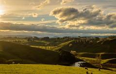 Hawke's Bay Region, New Zealand (cmphotography_nz) Tags: newzealand hawkesbay aotearoa sheep sunset goldenhour rollinghills scenic nikon d3200 nikkor 35mm f18g landscapephotography streams wideangle