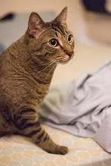 (getsomejelly) Tags: brown tabby cat bokeh shallow depth field