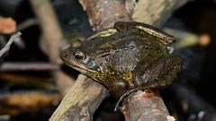 Common Frog (Rana temporaria) (andrewmckie) Tags: royalbotanicgardens edinburgh frog amphibian scottishwildlife wildlife ranatemporaria