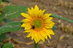 SUNFLOWER (JaapCom) Tags: jaapcom flower macro yellow bloeien bloei nature fleurs deer plant close up zonnebloem hommel naturaleza estate flor flore tournesol sonnenblume sommer