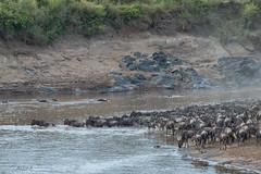 follow the leader (Just me, Aline) Tags: 201808 alinevanweert kenia kenya masaimara safari wildlife crossing oversteek migration wildebeest wildebeast gnoe river rivier nijlpaard hippo explore