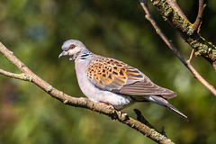 turtle dove (ianbollen) Tags: england norfolk titchwell dove turtle