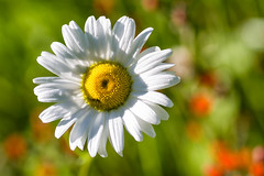♫ 'Oh for the love of you ... ' ♪ (Canadapt) Tags: nature flowers daisy dew drops bokeh keefer canadapt compositae