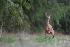 Chevrette (guiguid45) Tags: nature sauvage animaux mammifères forêt loiret d810 nikon 500mmf4 chevreuil capreoluscapreolus chevrette brocard affût roedeer ree
