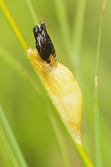 2018_07_0338 (petermit2) Tags: 6spotburnetmoth 6spotburnetmothcocoon sixspotburnetmoth burnetmoth mothcocoon burnet moth cocoon northcavewetlands northcave brough eastyorkshire eastridingofyorkshire yorkshire yorkshirewildlifetrust ywt wildlifetrust wildlifetrusts