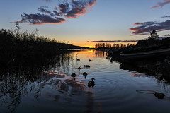 DSC_6763 (Adrian Royle) Tags: finland kuopio travel holiday lake outdoors sunset landscape water sky nikon ducks silhouette