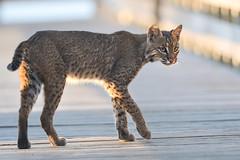 Bobcat (stephaniepluscht) Tags: cat alabama 2018 gulf state park boardwalk bobcat wild shores