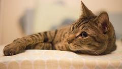 (getsomejelly) Tags: brown tabby cat bokeh shallow depth field 169 widescreen wide screen