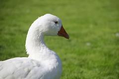 Goose (Paul McNamara) Tags: glencree county wicklow ireland grass bird