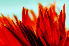 flaming (1crzqbn) Tags: macro flower red orange texture 37522018 gerberadaisy inmygarden petals