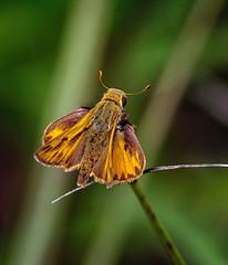 Get the Motor Runnin' (Portraying Life, LLC) Tags: dbg6 da3004 hd14tc k1mkii michigan pentax ricoh unitedstates butterfly closecrop handheld nativelighting skipper meadow leonardspreserve dryprairie
