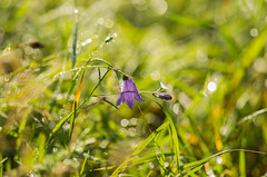 Flower (PetuPictures) Tags: flowers flower field nature bokeh finland visitfinland pentax sigma macro water showroom earth explore