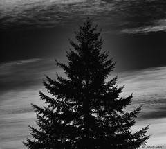 Black & White & Shades of Gray (Joan Gray) Tags: firtrees clouds contrails blackandwhite bw