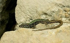 Wall Lizard.  (1 of 2) (farrertracy) Tags: coast summer sunshine quarry green grey rocks reptile dorset walllizard