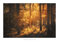 Golden II (Amar Sood) Tags: amarsoodphotocom amarsoodphotography landscape landscapes woodland morning warm painterly autumn sony a7rii 702004 trees forest nature