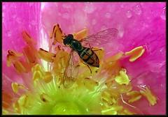 IMG_0510 Kissing Rose Goodnight 7-26-18 (arkansas traveler) Tags: hoverfly bichos bugs insects flowers rose rugosarose macro macrolicious nature naturewatcher natureartphotography