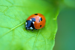 Beetle Lady Bug (mjohnsonpics) Tags: beetle insect nature macro beauty beautiful sony ilce a6000 raynox m250 canon fd 50mm prime lens