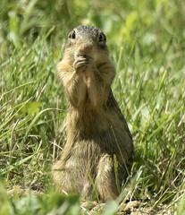 Did I do that?? (AmyEHunt) Tags: groundsquirrel squirrel rodent mammal wild wildlife nature grass canon illinois thirteenlinedgroundsquirrel
