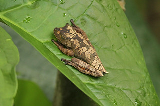 frog sp