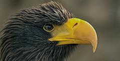 Steller's sea eagle (pe_ha45) Tags: greifvögel riesenseeadler stellersseaeagle falknerei falconry fauconnerie raptor rapace greifvogel