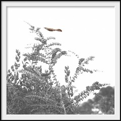 stunt pilot (Andrew C Wallace) Tags: wattlebird stunt pilot flight cranbournegardens victoria australia thephotontrap muted olympusomdem5mk2 microfourthirds m43