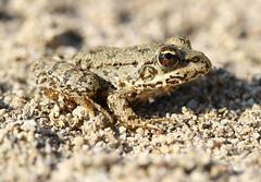 Frog (Wild Chroma) Tags: frog rana bulgaria unidentified