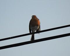 Rouge-gorge familier (chriscrst photo66) Tags: bird animal oiseau rougegorge fil ciel nikoncoolpixp900