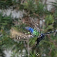 _DSC0381 (Roger Hummingbirds) Tags: animal nature bird birds colibri wildlife hummingbird wings flight feeder flower nectar south america rain forest color colorful colour fly flying spread blue green delicate flora floral beauty inflight ornithology wild brazil beijaflor tesourinha kolibrie feathers outdoor verde azul natureza do sul vôo voando delicado flores
