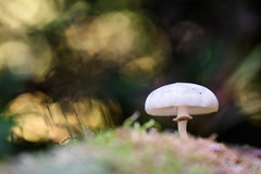 """""""Psychedelic Dream"""" (regisfiacre) Tags: champignon pilz pilze mushroom fungi fungus forêt forest wald autumn automne herbst couleurs colors bokeh nature sauvage wild wildlife macro macrophoto macrophotography macrophotographie canon 5div mark iv 4 plein format full frame sigma 150mm apo ex dg os hsm moselle france sol ground erde feuilles feuille leaf leaves blatt"""