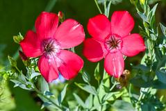 Fleur de lin - Flax flower (A_Decostre) Tags: fleur trouvée dans une prairie sauvage flower found wild meadow