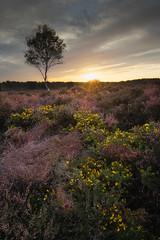 All the colours of Westleton. (dickiebirdie68) Tags: suffolk landscape sunset clouds sun heath heather tree remote colour westleton purple yellow pretty nikon d850 sky nature