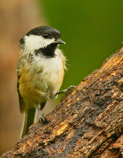 Black-capped-Chickadee-99w