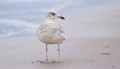Herringgull (zeemeeuw) (moniquedoon) Tags: seagull herringgull meeuw beach zeemeeuw birds nature wildlife