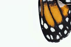 Monarch wing macro (Lorie Shaull) Tags: danausplexippus lepidoptera monarch butterfly insect scales butterflyscales insectscales macrophotography butterfliesofnorthamerica butterfliesoftheunitedstates insectanatomy lepidopterology