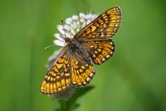 Goldener Scheckenfalter (Aah-Yeah) Tags: goldener scheckenfalter skabiosen marsh fritillary euphydryas aurinia schmetterling butterfly tagfalter achental chiemgau bayern