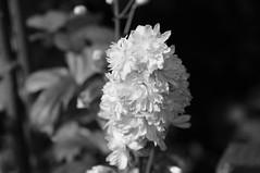 DSC09057- Just White & Soft (oliveplum) Tags: orchidextravaganza blackwhite gardensbythebay flowerdome leica60f28macro sony singapore