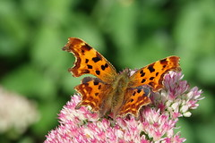 Comma butterfly (hedgehoggarden1) Tags: comma butterflies lepidoptera creature sonycybershot nature insect norfolk gooderstonewatergardens eastanglia uk sony iceplant