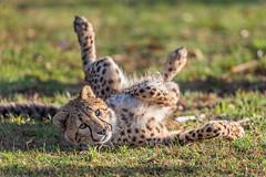 Looking Silly (Xenedis) Tags: acinonyxjubatus animal australia bigcat cat cheetah dubbo duma newsouthwales nsw tarongawesternplainszoo zoo