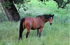 Beautiful Bay (Susan Stienstra) Tags: bay horse shastacounty