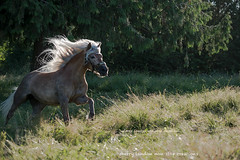 backlit run for fun (non stop creations- Sherry Landon) Tags: mare golden flaxen long mane running flowing grass sherry landon nonstopcreations nikon haflinger