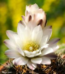 Fleur de cactée (didier95) Tags: fleurdecactus fleurdecactee fleur cactus cactee macro fleurblanche blanc