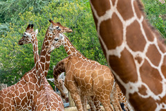 Girafes (antoine_blin) Tags: animal arbres beauval colors couleurs d7200 feuilles green leaf nikon tamron70300mmf456divc trees vert zoo