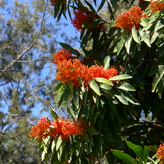Alloxylon flammeum coming into flower (tanetahi) Tags: treewaratah alloxylon alloxylonflammeum proteaceae embothriinae native australian redflowers tree tropical queenslandwaratah tanetahi