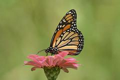 monarch butterfly on flower (Mel Diotte) Tags: monarch butterfly flower wild free nature orange green mel diotte explore nikon d500
